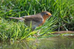 Robin at water edge. A robin standing on the grass at the edge of a pond pool staring intently into the water surrounded by grass Royalty Free Stock Image