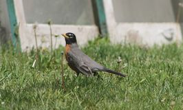 Rockin` Robin. Robin standing in the grass in front of vintage windows Stock Photography
