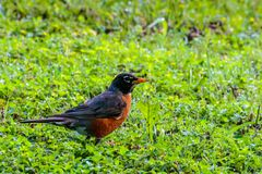 Robin Standing in the Grass Royalty Free Stock Images