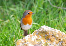 Robin standing on rock Stock Photo