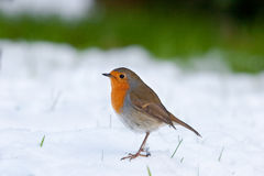 Robin standing in Snow Royalty Free Stock Photo