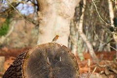 Robin Standing sul tronco di albero caduto Immagine Stock