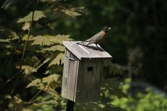 A robin standing on the top of a wooden bird house. With trees in the background royalty free stock image