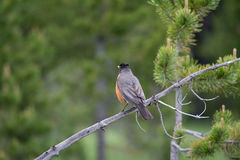 Robin Staring off into the Distance. I found this robin on a hiking trail at Yellowstone National Park and it was on a small tree that had died and fallen over Royalty Free Stock Photo