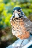 Robin staring in a window. While perched on a ledge in the middle of summer Royalty Free Stock Photo