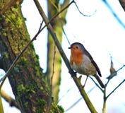 Robin streek op een diagonale tak met boomboomstam neer op de achtergrond royalty-vrije stock afbeeldingen