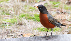 Robin strikes a pose Royalty Free Stock Photos