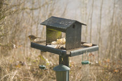 Robin su Birdtable Fotografie Stock Libere da Diritti