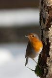 Robin su un albero Fotografia Stock
