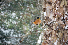 Robin su un arto II della betulla di Snowy Fotografia Stock Libera da Diritti