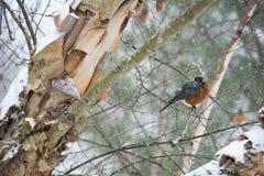 Robin su un arto III della betulla di Snowy Fotografie Stock