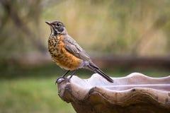 Robin su un bagno dell'uccello Fotografie Stock