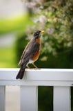 Robin su un bianco recinta la molla Fotografia Stock Libera da Diritti