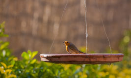 Robin su un piatto Fotografia Stock Libera da Diritti
