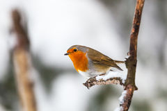 Robin su un ramo Fotografie Stock Libere da Diritti