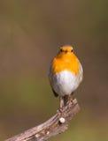 Robin su un ramo Immagini Stock Libere da Diritti