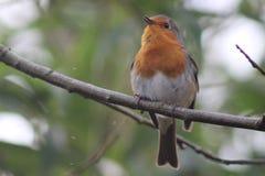 Robin su un ramo Immagine Stock Libera da Diritti