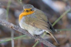 Robin su un ramo Fotografia Stock