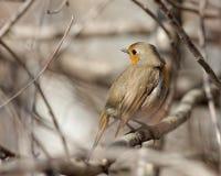 Robin su un ramo di albero Immagine Stock Libera da Diritti