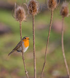Robin su una pianta asciutta del cardo selvatico Immagine Stock