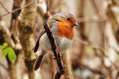 Robin sul ramoscello Immagine Stock Libera da Diritti