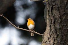 Robin sul ramoscello con Backround monocromatico 2 Fotografie Stock Libere da Diritti
