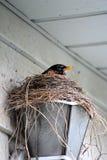 Robin sul suo nido del ` Fotografie Stock Libere da Diritti