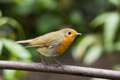 Robin sull'asta Immagine Stock