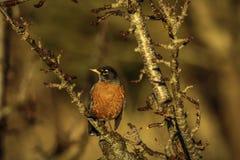 Robin sulla filiale di albero fotografie stock libere da diritti