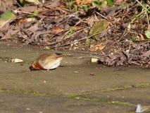 Robin sulla terra Fotografia Stock Libera da Diritti