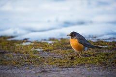 Robin sulla terra che scava e che cerca l'alimento fotografia stock libera da diritti