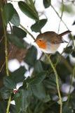 Robin sur l'arbre de houx Photographie stock