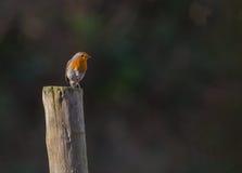 Robin sur l'enjeu photos stock