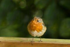 Robin sur la barrière avec des orteils au-dessus du bord Photographie stock libre de droits