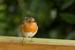 Robin sur la barrière regardant vers sa gauche Images libres de droits