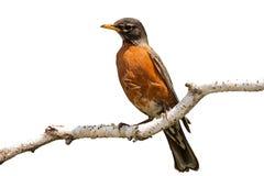 Robin sur la branche de bouleau Image stock