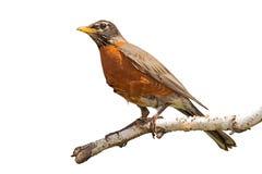 Robin sur la branche de bouleau Images stock
