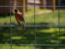 Robin sur le grillage dans la cour photographie stock libre de droits