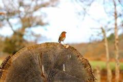 Robin sur le log image libre de droits
