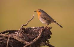 Robin sur le log photo stock