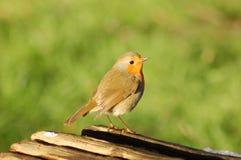 Robin sur le logarithme naturel Photo libre de droits
