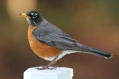 Robin sur le poteau Photo libre de droits