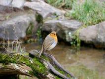 Robin sur un rondin photographie stock