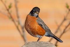 Robin sur une barrière Post Images stock