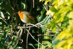 Robin sur une branche Photos stock
