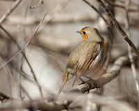 Robin sur une branche d'arbre Image libre de droits