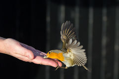 Robin Takes Food Royalty Free Stock Photography