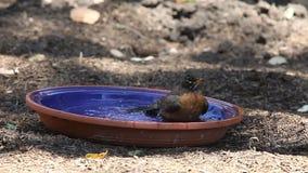 Robin taking a bath stock video