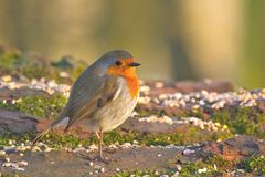 Robin. A robin taking a break from pecking at the seeds royalty free stock photo
