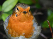 Robin with a tick under it's eye. Royalty Free Stock Image